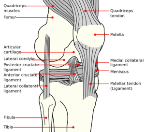 ACL Knee diagram